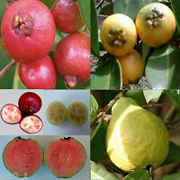 Psidium Guajava/cattleianum Strawberry Cherry Pink Guava Goyavier Shrub 12 Seeds -  - ebay.es