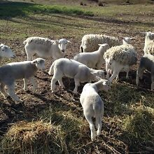 Dorper sheep and new lambs Pomonal Ararat Area Preview