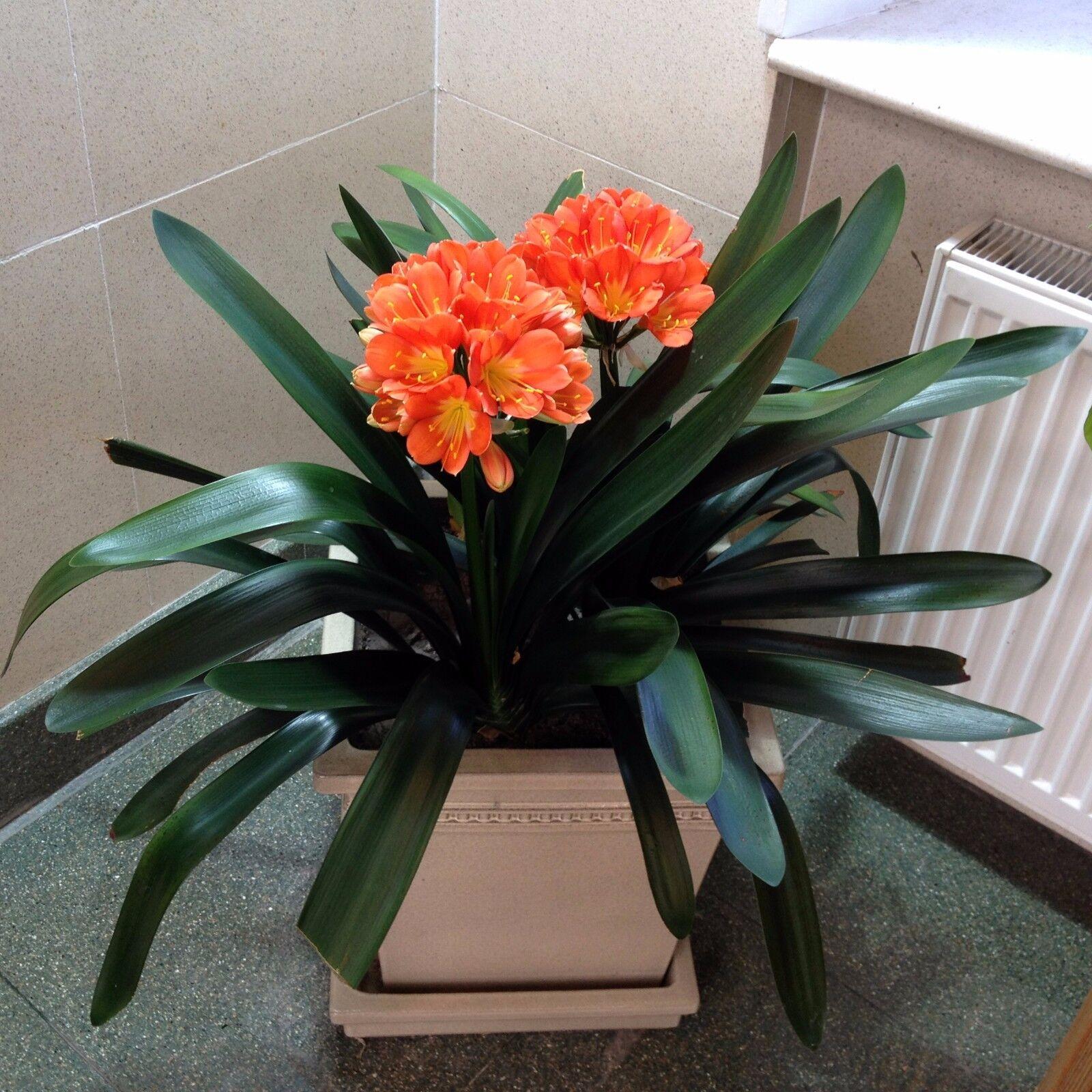 Фото комнатного цветка кливии