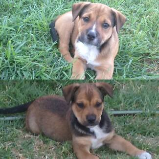 Aussie Bulldog X Staffy Puppies