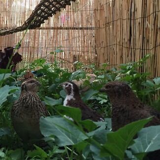 QUAIL ADOPTER (QUAIL HEAVEN:) Greenwood Joondalup Area Preview