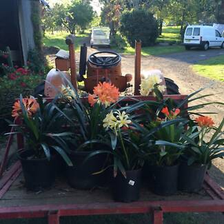 FLOWERING Clivia pots for sale Arcadia Hornsby Area Preview