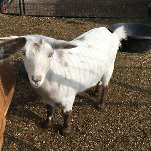 Nigerian and Nigerian cross goats  breeding pair. Not for meat
