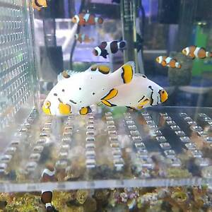 Snow Onyx Clownfish PAIR $450 / marine / Saltwater / coral Cabramatta West Fairfield Area Preview