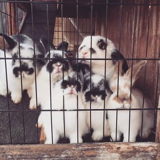 Rabbit for sale  Lalor Whittlesea Area Preview