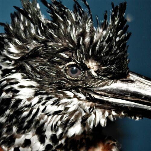 African GIANT Kingfisher bird wall mount Taxidermy