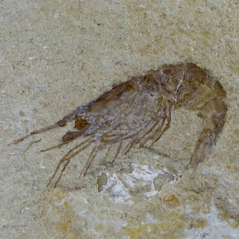 "1.3"" Fossil Shrimp Carpopenaeus Cretaceous Age 100 Mil Yrs Old Lebanon COA"
