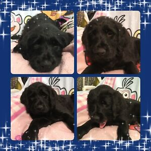 F1 Black Labradoodles available NOW