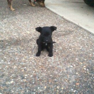 KELPIE PUPPIES waiting new homes LAST 2 REDUCED $50 Walloon Ipswich City Preview