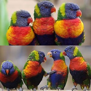 RAINBOW LORIKEET Carine Stirling Area Preview