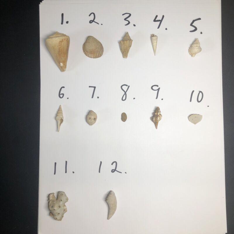 Teacher Kits 12 Fossil Shells From Eocene Age. Stone City FM Bravos River TX