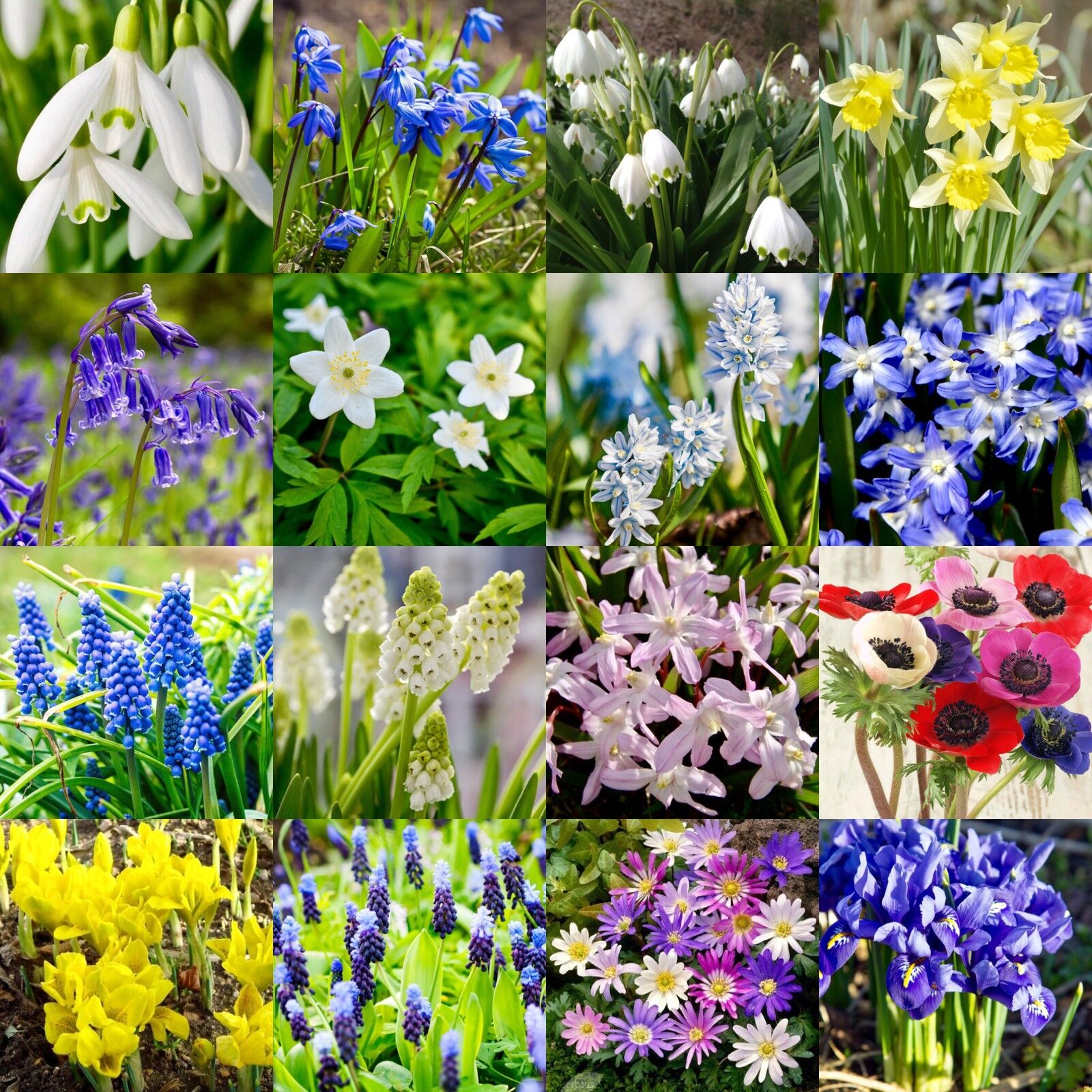Spring flowering bulbs snowdrops bluebells wild daffs iris spring flowering bulbs snowdrops bluebells wild daffs iris puschkinia mightylinksfo