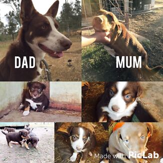 Kelpie/Collie Pups Lowood Somerset Area Preview