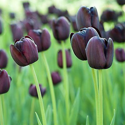 50 TULIPS QUEEN OF NIGHT SPRING FLOWERING GARDEN BULBS PLANTS PERENNIALS