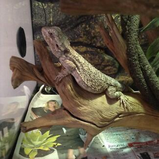 Western Bearded Dragons - Breeding Pair