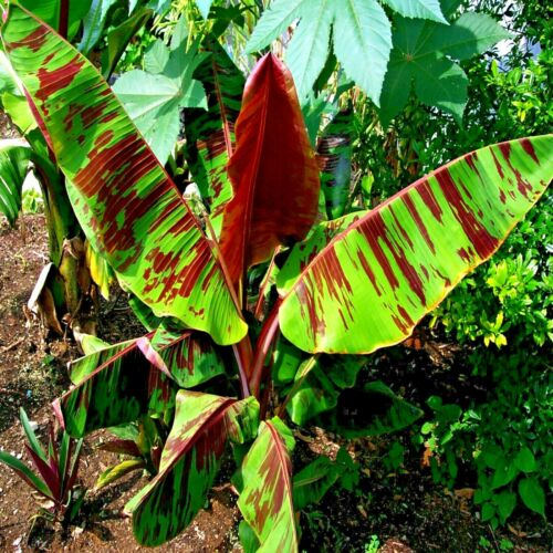 10 Red Tiger Darjeeling Banana Tree Seeds Sikkimensis Cold Hardy Tropical Fruit