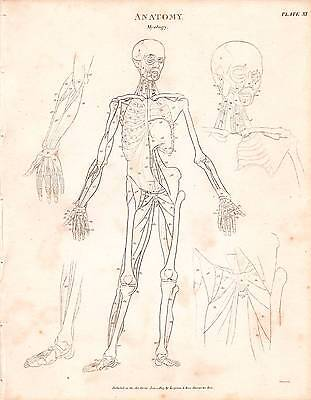 1803 DATED PRINT ANATOMY ~ MYOLOGY ~ DIAGRAM MUSCLES SKELETON FIGURE ARM (Arm Anatomy Diagram)