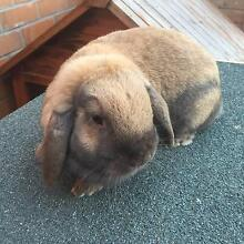 Female Mini Lop Rabbit needs a new home Noble Park Greater Dandenong Preview