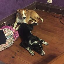 Smithfield cattle dog cross border collie 4 months old North Balgowlah Manly Area Preview