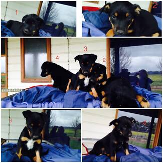 Kelpie Puppies for sale - black and tan Cowaramup Margaret River Area Preview