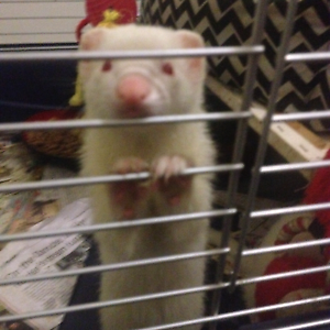 Ferrets for sale 7/8months old Northam Northam Area Preview