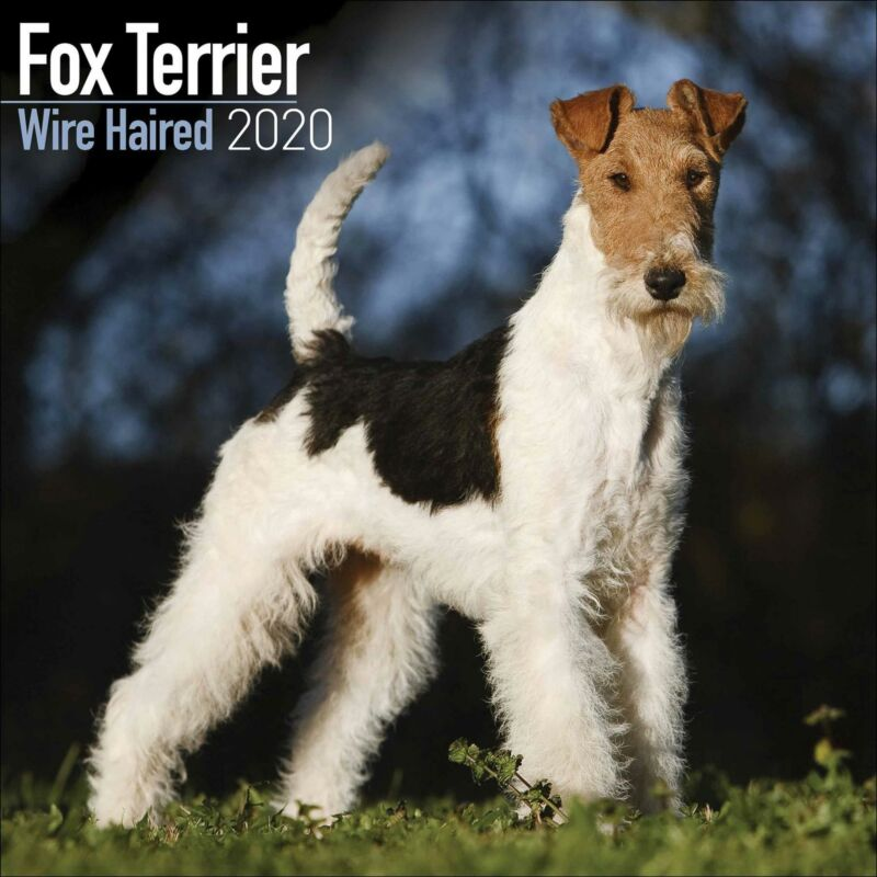 Wirehaired+Fox+Terrier+2020+Official+Square+Wall+Calendar