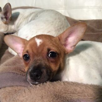 MINI FOX TERRIER CROSS JACK RUSSELL Manly Manly Area Preview