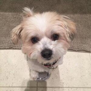 Adorable Shih tzu * Maltese for adoption Mortlake Canada Bay Area Preview