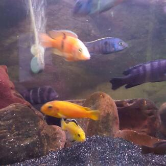 African Cichlids / Clown Loaches fish tank full set up Noble Park Greater Dandenong Preview