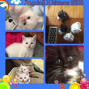 Ragdoll X kittens Glen Waverley Monash Area Preview
