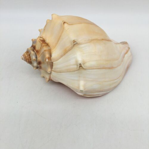 Vintage Dakshinavarti Conch Right Handed Shell Vamavarti Loud Blowing Shankh