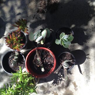 Small Succulents (Assorted)