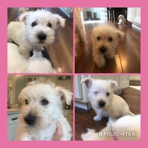 READY TO GO- westie (west highland white)/ Scottish terrier