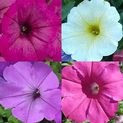 PETUNIA HYBRIDA MIX 600 SEEDS HANGING BASKETS CONTAINERS FREE SHIPPING FLOWERS