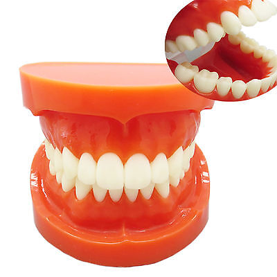 Dental Teeth Model 11 Adult Typodont Standard 7004