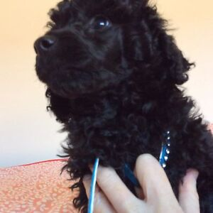 Purebred Large Toy Poodle Puppy Point Cook Wyndham Area Preview
