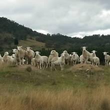 Sheep for Sale Gordon Ku-ring-gai Area Preview
