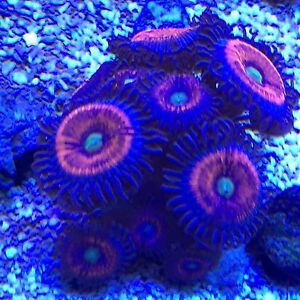 Coral colony's for sale