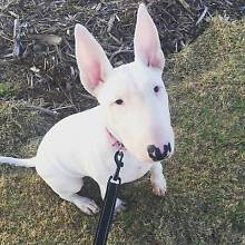 Pure Bred Female Roman Nose Bull Terrier Redbank Plains Ipswich City Preview