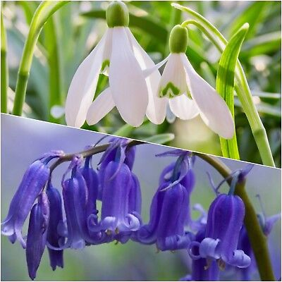 25 Snowdrops & 25 Bluebells Top Quality Freshly Lifted Flowering Size Bulbs