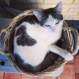 Lost Cat Westminster Westminster Stirling Area Preview
