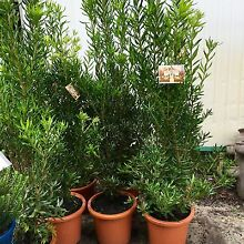 Pittosporum Cut Above .plants for Perth shrubs tree grower direct Darch Wanneroo Area Preview