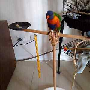 Rainbow lorikeet young 5 month old male St Marys Penrith Area Preview
