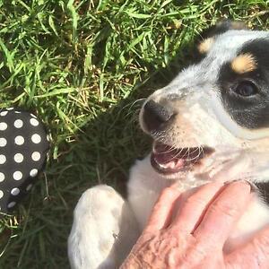 Boxador puppies for sale Candelo Bega Valley Preview