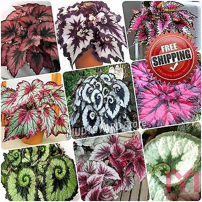 100pc Begonia Flower Seeds Mix Colors Begoniace Perennial Flowers Bonsai Garden