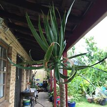 1 Tall Dracaena $40 Plus Others 1m H $20 Each Bull Creek Melville Area Preview