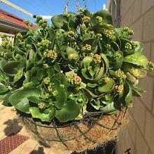 Beautiful Kalanchoe plant white double flowers in hanging Basket Wattle Grove Kalamunda Area Preview