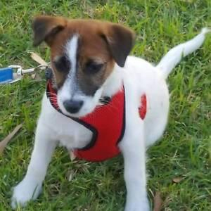 Dog walker Narre Warren Casey Area Preview