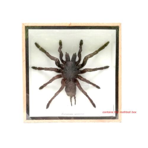 1 x Real Black Tarantula Spider Insect Taxidermy Display Framed Wood Mounted Box