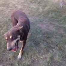 Kelpie dog Ipswich Ipswich City Preview